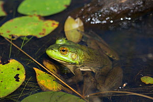 Bullfrog (Lithobates catesbeianus) in pond amongst  White Water-Lily pads, Connecticut, USA, August. - LYNN M. STONE