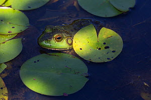 Bullfrog (Lithobates catesbeianus) in White Water-Lily pads, Connecticut, USA, August. - LYNN M. STONE