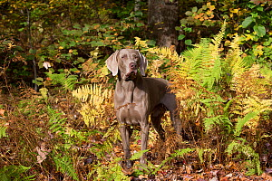 Weimaraner in autumn foliage, East Haddam, Connecticut, USA. Non exclusive.  -  LYNN M. STONE