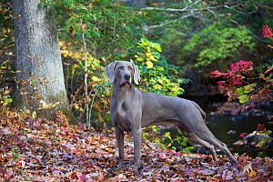 Weimaraner in autumn foliage by small river, East Haddam, Connecticut, USA. Non exclusive.  -  Lynn M Stone