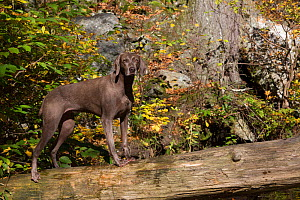 Weimaraner in autumn foliage on bridge, East Haddam, Connecticut, USA. Non exclusive.  -  LYNN M. STONE