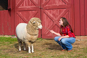 Young woman with American Cormo sheep ewe on farm, Massachusetts, USA, November 2013. Model released. - LYNN M. STONE
