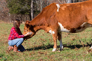 Young woman with Guernsey heifer in pasture, Granby, Connecticut, USA, November 2013. Model released.  -  LYNN M. STONE