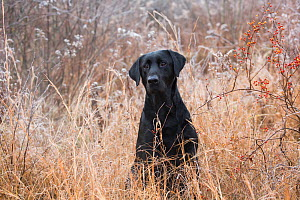 Black Labrador Retriever in tall grass, Canterbury, Connecticut, USA. Non exclusive. - LYNN M. STONE