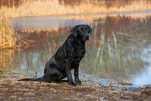 Black Labrador Retriever sitting by pond, Canterbury, Connecticut, USA. Non exclusive. - LYNN M. STONE