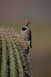 Female Northern flicker (Colaptes auratus), Arizona, USA, February.  -  John Cancalosi