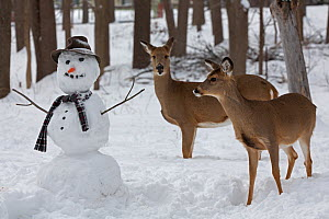 Male and female White-tailed deer (Odocoileus virginianus) with snowman, New York, USA, February. - John Cancalosi