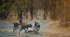 Small group of African wild dogs (Lycaon pictus) running and playing, Khwai River, Moremi Game Reserve, Botswana. - Wim van den Heever