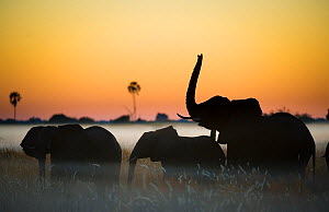 Group of African elephants (Loxodonta africana) silhouetted at sunrise, Okavango Delta, Botswana.  -  Wim van den Heever