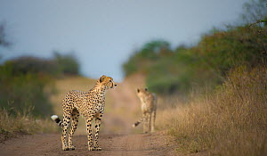 Two Cheetahs (Acinonyx jubatus) on a track, Phinda Private Game Reserve, South Africa. - Wim van den Heever