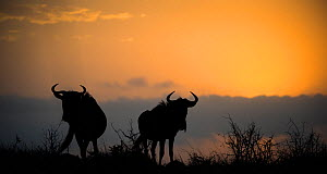 Two Blue wildebeest (Connochaetes taurinus) silhouetted against the sunrise, Phinda Private Game Reserve, South Africa. - Wim van den Heever