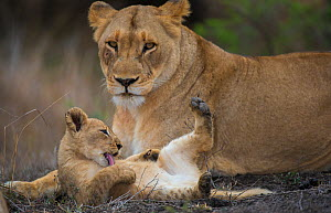 African lioness (Panthera leo) with young cub washing itself, Phinda Private Game Reserve, South Africa. - Wim van den Heever