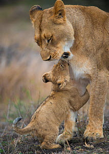 African lioness (Panthera leo) playing with a young cub, Phinda Private Game Reserve, South Africa. - Wim van den Heever