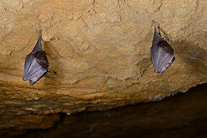Two hibernating Lesser horseshoe bat (Rhinolophus hipposideros) hanging from the roof of an old Bath stone mine, Wiltshire, UK, February. Photographed during a licensed survey. - Nick Upton