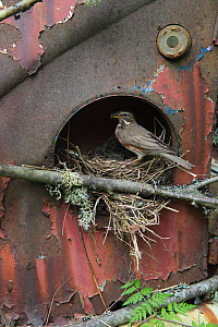 Redwing (Turdus iliacus) feeding young at nest in old Volkswagen car, Bastnas car graveyard, Sweden, May. - Pal Hermansen