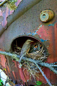 Redwing (Turdus iliacus) at nest in old car, Bastnas car graveyard, Sweden, May. - Pal Hermansen