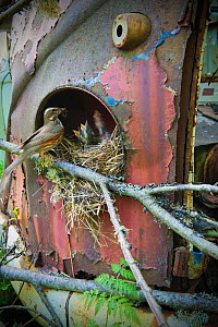 Redwing (Turdus iliacus) feeding young at nest in old car, Bastnas car graveyard, Sweden, May.  -  Pal Hermansen