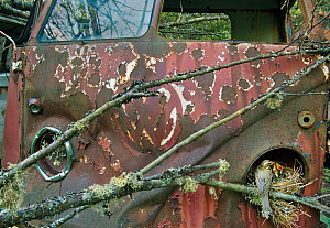 Redwing (Turdus iliacus) at nest in old Volkswagen car, Bastnas car graveyard, Sweden, May. - Pal Hermansen
