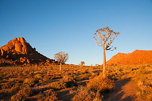 Quiver trees (Aloe Dichotoma) at sunrise, Richtersveld National Park and World Heritage Site, Northern Cape, South Africa, August 2011.  -  RHONDA KLEVANSKY