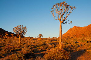 Quiver tree (Aloe dichotoma) at sunrise, Richtersveld National Park and World Heritage Site, Northern Cape, South Africa, August 2011.  -  RHONDA KLEVANSKY