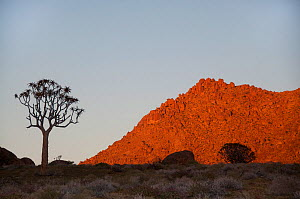 Quiver tree (Aloe Dichotoma) at sunrise, Richtersveld National Park and World Heritage Site, Northern Cape, South Africa, August.  -  RHONDA KLEVANSKY