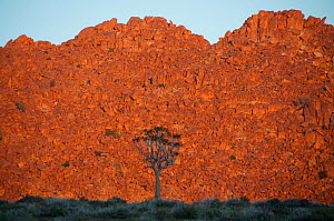 Quiver tree (Aloe dichotoma) in front of rock face, at sunrise, Richtersveld National Park, Northern Cape, South Africa, August.  -  RHONDA KLEVANSKY