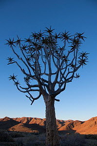 Quiver tree (Aloe dichotoma) silhouetted, Richtersveld, National Park, Northern Cape, South Africa, August.  -  RHONDA KLEVANSKY