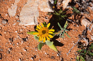 Daisy (Didelta carnosa) in flower, Richtersveld National Park and World Heritage Site, Northern Cape, South Africa, August.  -  RHONDA KLEVANSKY