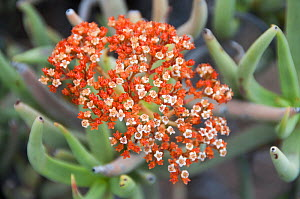 Crassula (Crassula macowaniana) flower head, Richtersveld National Park and World Heritage Site, Northern Cape, South Africa, August. - RHONDA KLEVANSKY