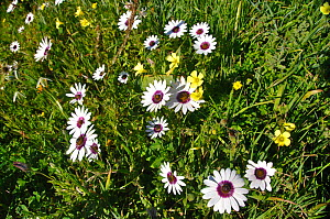 White Namaqualand / Cape daisies (Dimorphotheca pluvialis) and other species in flower, West Coast National park, Western Cape, South Africa, August.  -  RHONDA KLEVANSKY