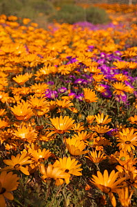 Daisies (Dimorphotheca sinuata) in flower, Namaqualand, Northern Cape, South Africa, August.  -  RHONDA KLEVANSKY