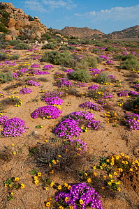 Daisies (Dimorphotheca sinuata) and ice plants (Drosanthemum hispidum) in flower, Goegap Nature Reserve, Northern Cape, Namaqualand, South Africa, August.  -  RHONDA KLEVANSKY