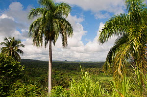 Palm trees in forest, Baracoa Mountains, East Cuba, November 2011.  -  RHONDA KLEVANSKY