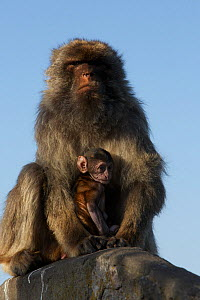 Barbary macaque (Macaca sylvanus) male holding baby, as a bridging behaviour to reduce aggression from other males and form social bonds, Upper Rock area of the Gibraltar Nature Reserve, Rock of Gibra... - Mark  MacEwen