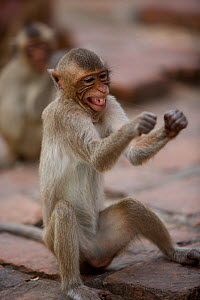 Long-tailed macaque (Macaca fascicularis) juvenile flossing teeth with human hair stolen from tourists at Monkey Temple, Phra Prang Sam Yot, Lopburi, Thailand.  -  Mark  MacEwen