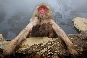 Japanese macaque (Macaca fuscata) relaxing in hot spring in Jigokudani, Yaenkoen, Nagano, Japan, February.  -  Mark  MacEwen