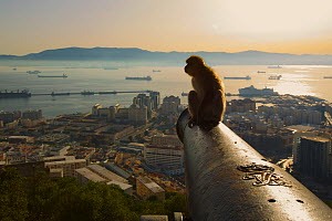 Barbary macaque (Macaca sylvanus) resting on old canon at sunrise, with view over looking Gibraltar City, Upper Rock area of the Gibraltar Nature Reserve, Gibraltar, June.  -  Mark  MacEwen
