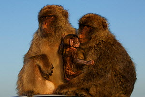 Barbary macaque (Macaca sylvanus) males with baby, as a bridging behaviour to reduce aggression and form social bonds, Upper Rock area of the Gibraltar Nature Reserve, Rock of Gibraltar, June. - Mark  MacEwen