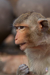 Long-tailed macaque (Macaca fascicularis) flossing its teeth with human hair stolen from tourists at Monkey Temple, Phra Prang Sam Yot, Lopburi, Thailand.  -  Mark  MacEwen
