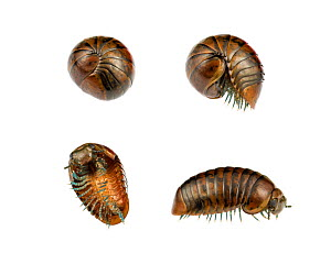 Pill millipede (Procyliosoma striolatum) composite image of uncurling sequence, see images 1468356 - 1468359. Fiordland National Park, South Island, New Zealand, February. Composite image. Meetyournei... - MYN / Gil Wizen