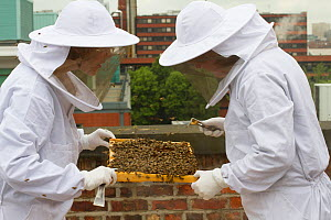 Bee keepers looking at honey comb from hives on roof of Manchester Museum, Manchester, UK, June 2014.  -  David  Woodfall