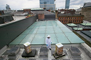 Bee keeper with hives on Manchester Art Gallery roof, England, UK, June 2014.  -  David  Woodfall
