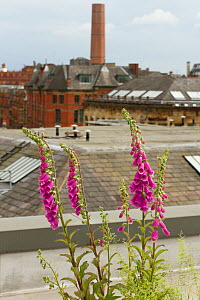 Foxgloves (Digitalis purpurea) grown in tub to attract pollinating insects, especially bees on roof of Manchester Art Gallery, England, UK, June 2014.  -  David  Woodfall
