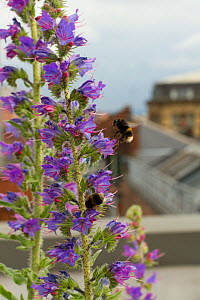 Bumblebee (Bombus sp) on Vipers bugloss (Echium vulgare) grown on roof top of Manchester Art Gallery to attract pollinating insects, Manchester, England, UK. June 2014.  -  David  Woodfall
