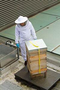Bee keeper spraying honey comb with smoke on roof of Manchester Museum, Manchester, UK, June 2014.  -  David  Woodfall