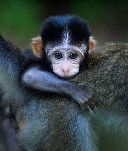 Long-tailed macaque (Macaca fascicularis) baby aged 2-4 weeks clinging to its mothers back. Bako National Park, Sarawak, Borneo, Malaysia.  -  Anup Shah