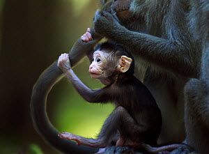 Long-tailed macaque (Macaca fascicularis) baby aged 2-4 weeks holding on to an adult's tail while it is being groomed.  Bako National Park, Sarawak, Borneo, Malaysia. - Anup Shah