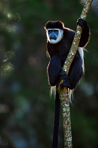 Eastern Black-and-white Colobus (Colobus guereza) clinging to the trunk of a small tree. Kakamega Forest South, Western Province, Kenya - Fiona Rogers