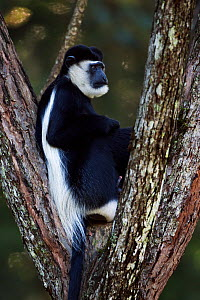 Eastern Black-and-white Colobus (Colobus guereza) male sitting in a tree. Kakamega Forest South, Western Province, Kenya - Fiona Rogers