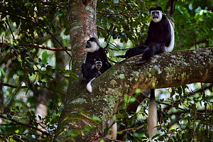 Eastern Black-and-white Colobus (Colobus guereza) female with baby aged 2-3 months sitting with mature male in a tree. Kakamega Forest South, Western Province, Kenya - Fiona Rogers